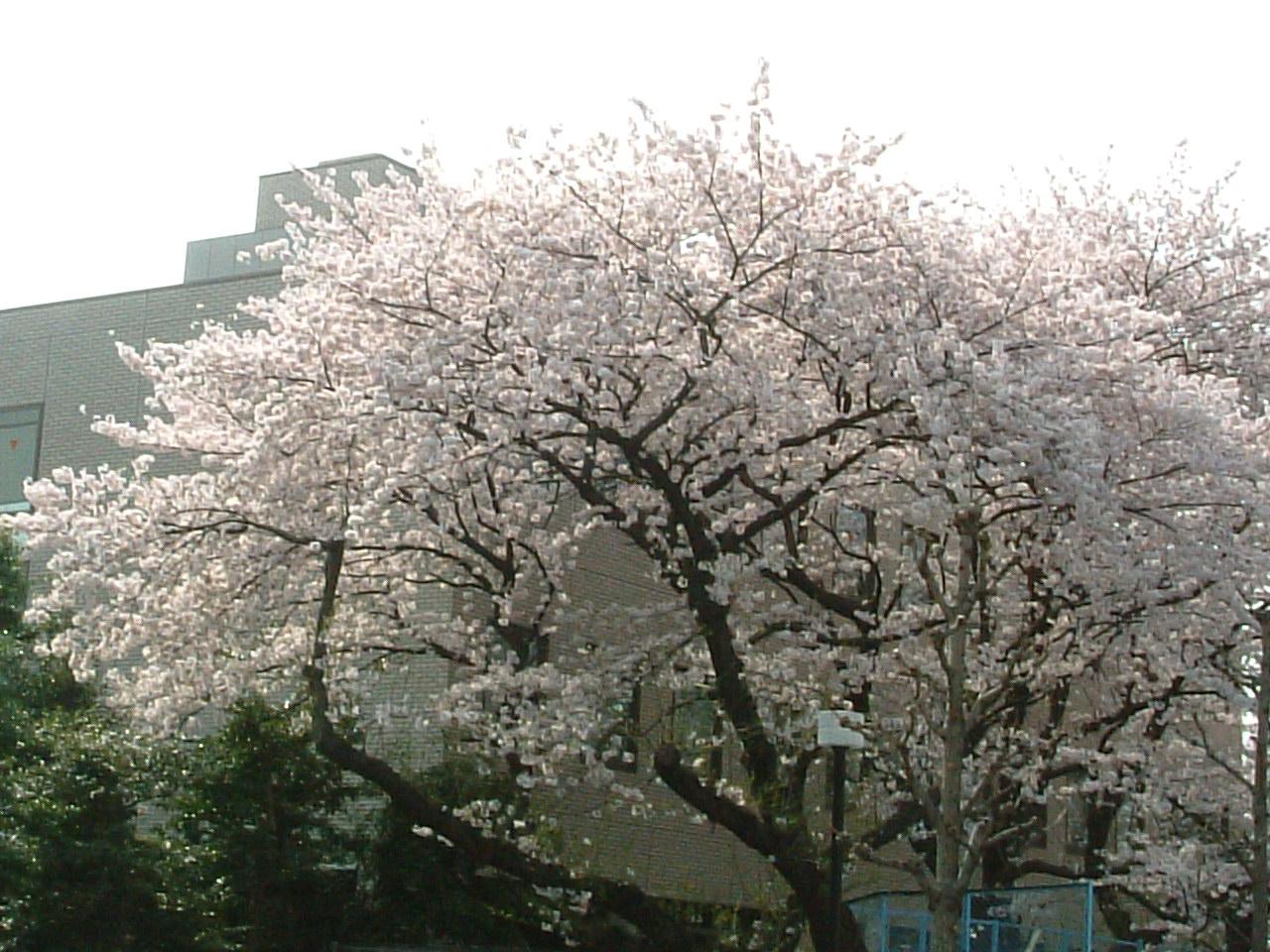 sakura200504